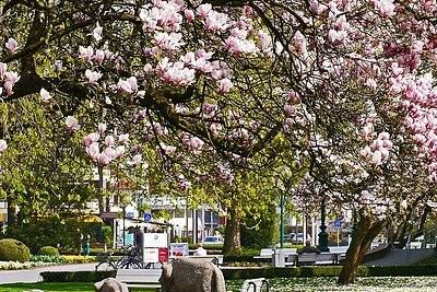Magnolienblüte in Bad Rothenfelde